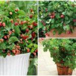 Новые хорошие сорта помидор