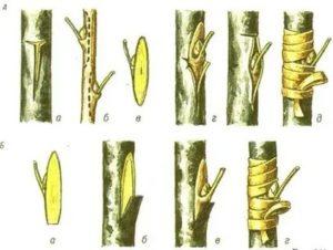Как делать прививку плодовых деревьев