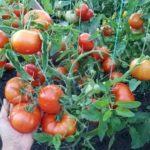 Сколько времени растут помидоры