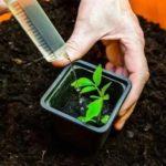 Как подготовить семена помидор к посадке