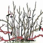 Как выращивать памелу