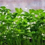 Как вырастить чеснок из семян