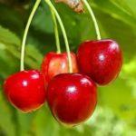 Опрыскивание яблонь медным купоросом