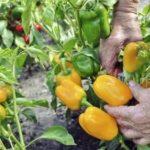 Огурцы устойчивые к ложной мучнистой росе