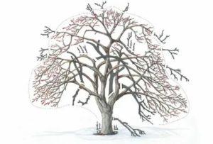 Обрезка запущенных яблонь