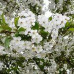 Верба дерево выращивание