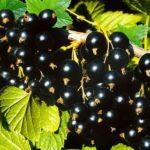 Выращивание черенками черную смородину