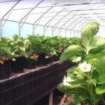 Фацелия выращивание и уход