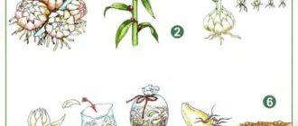 Лилии размножаются