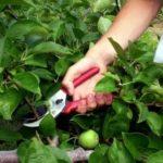 Как формировать помидоры в два стебля