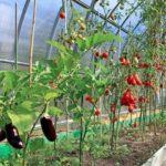 Лучшие сорта томатов для юга россии