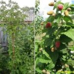 Сорта помидоров самара