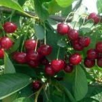 Посадка семян яблони