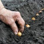 Выращивание томатов в теплице зимой