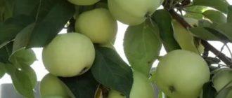 Яблоня сорт папировка