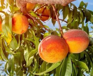 Персик уход
