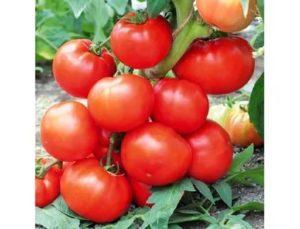 Лучшие гибриды томатов для теплиц
