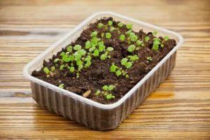 Клубника из семян фото