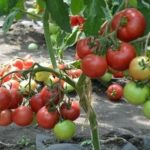 Персик выращивание и уход