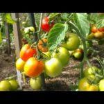 Косточки абрикоса посадка