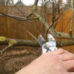 Малиновое дерево голд
