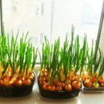Как вырастить арбуз на балконе