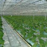 Тюльпаны уход выращивание