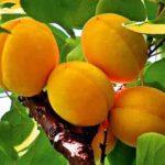 Уход за фруктовыми деревьями