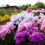 Поливать цветы раствором марганцовки