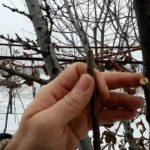 Посадка яблонь весной расстояние между деревьями