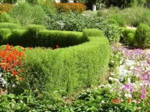Кохия в саду