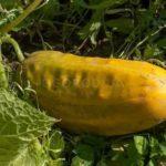Сорта томатов для урала отзывы