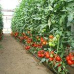 Левкои выращивание из семян