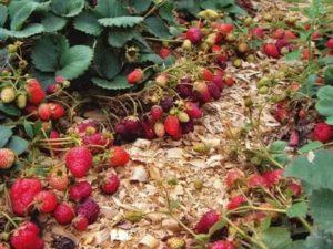 Клубника садовая выращивание
