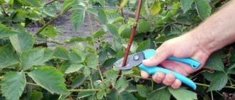 Ежевика садовая уход обрезка