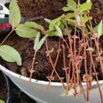 Сорта огурцов для краснодарского края