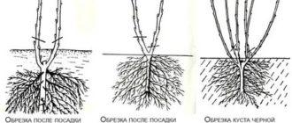 Как правильно посадить красную смородину весной видео