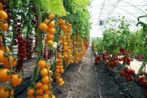 Какие сорта помидор сажать в теплице