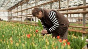 Уборка тюльпанов