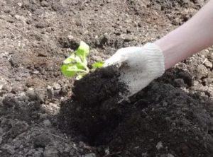 Когда высаживать петунию в открытый грунт
