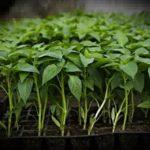 Выращивание ирисов