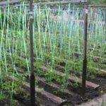 Как рассадить черную смородину весной