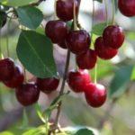 Заболевание коры плодовых деревьев