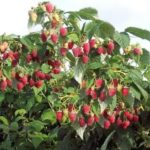 Выращивание высокорослых помидоров в открытом грунте