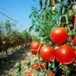 Вырастить помидоры в парнике