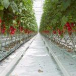 Выращивание подвесной клубники