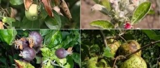 Яблоня болезни и вредители фото