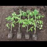 Лобулярия фото выращивание уход