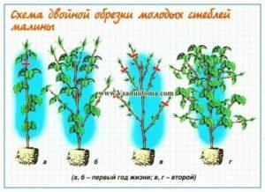 Посадка и уход за малиновым деревом