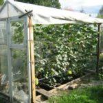 Выращивание лизиантус из семян
